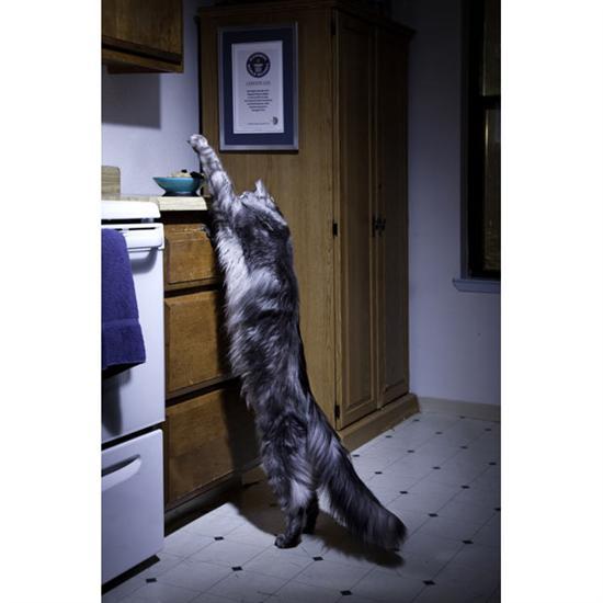 stewie longest cat 3