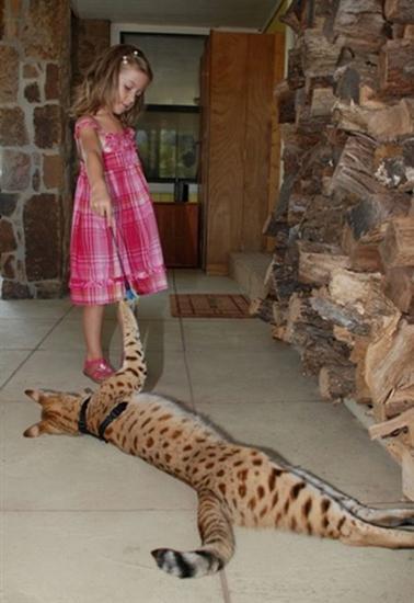 worlds tallest cat 5