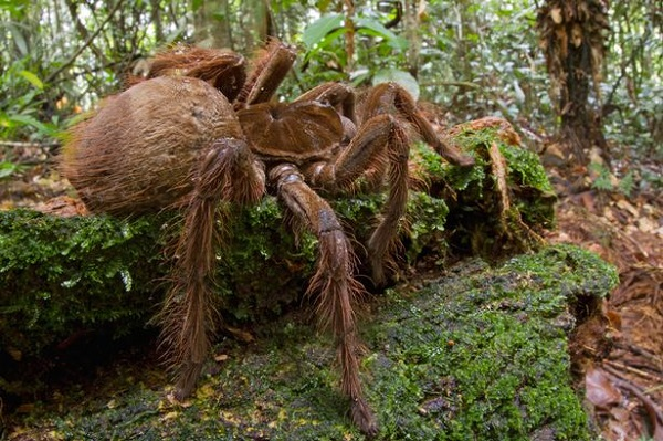 PAY Goliath Bird eating Spider The Biggest And Largest Spiders in the World as seen on CoolWeirdo.com