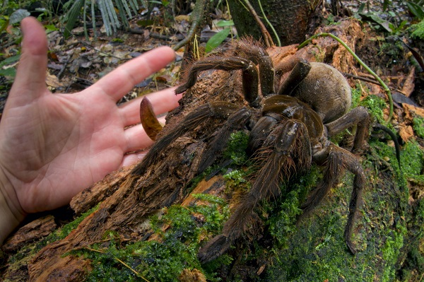 puppy sized spider The Biggest And Largest Spiders in the World as seen on CoolWeirdo.com