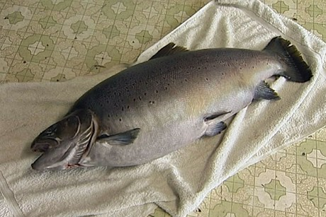 huge brown trout new zealand 2