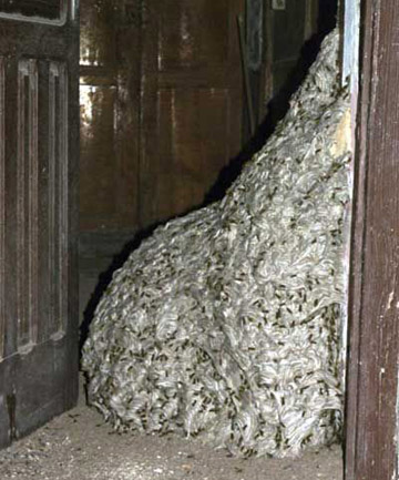 Largest Wasps Nest in The World 1