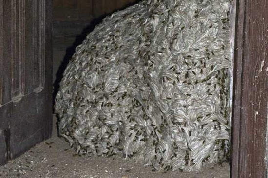 Largest Wasps Nest in The World 3