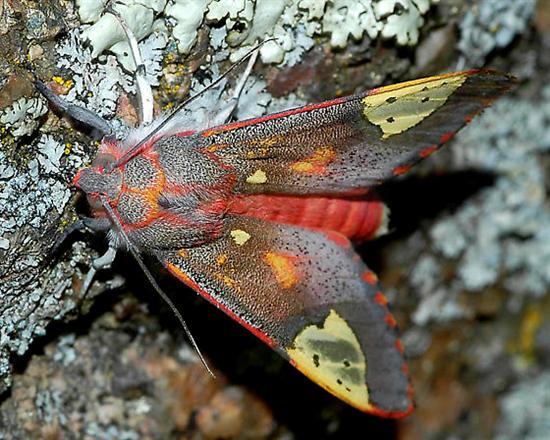 Bertholdia trigona moth 1