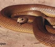 Inland Taipan Snake 1