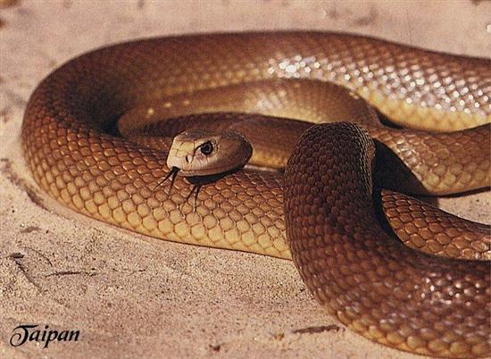 Inland-Taipan snake 1