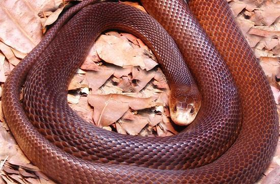 Inland Taipan snake 2