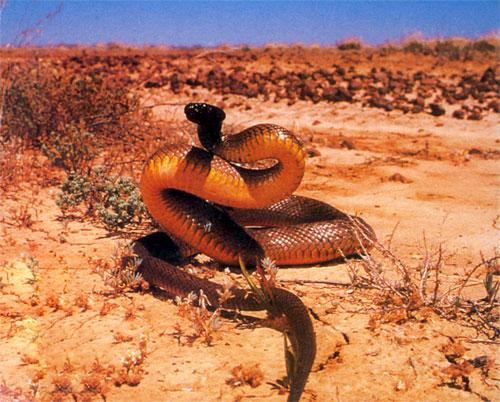 Inland Taipan snake 3