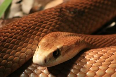 Inland Taipan snake 4