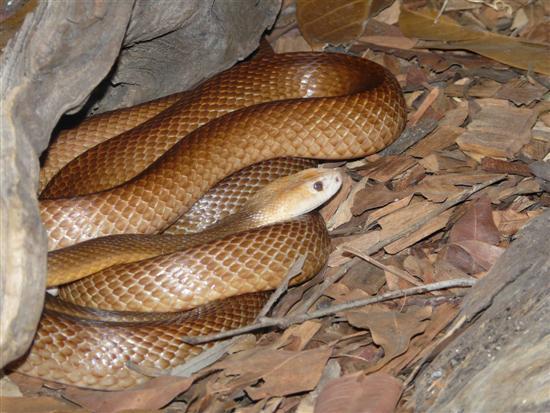 Inland Taipan snake 5