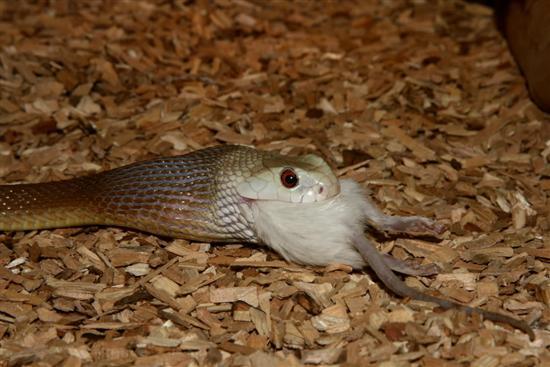 Inland Taipan snake 6