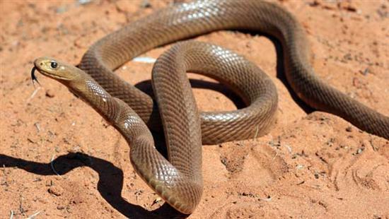 Inland Taipan snake 7