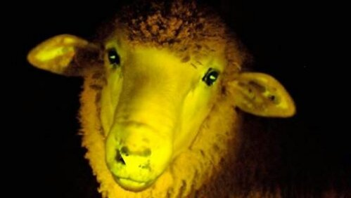 glow in the dark sheep 1