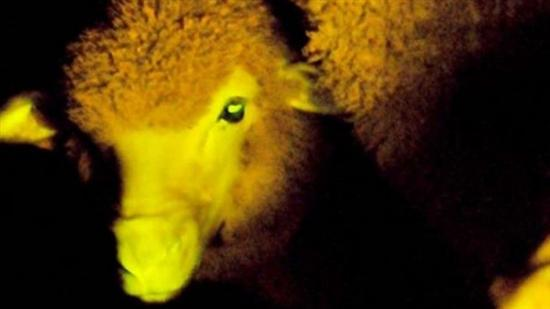 glow in the dark sheep 2