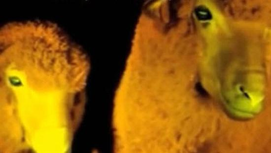 glow-in-the-dark sheep 3