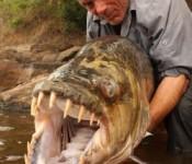 peces gigantes fish 250x3001 175x150