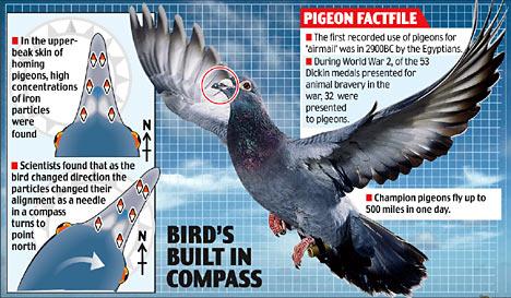pigeon compass