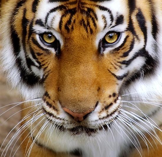 tiger wiskers closeup 2