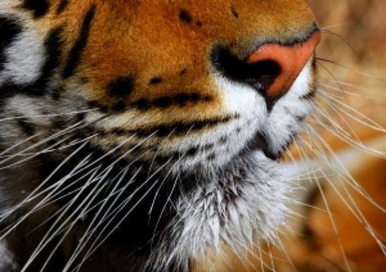 tiger wiskers closeup