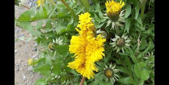 Fukushima mutant flower