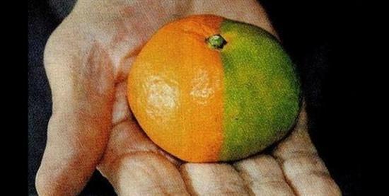 Fukushima mutant mandarin