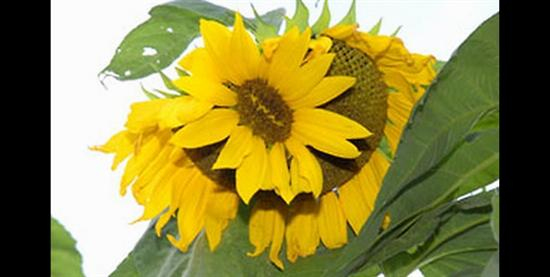 Fukushima mutant sunflower
