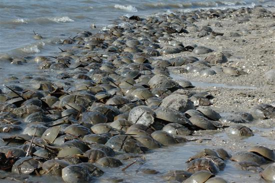 Horseshoe crab spawning4