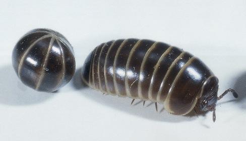 Pillbug (Roly-Poly)