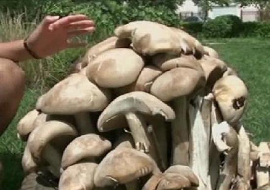 giant-mushroom-china-weighs-33-pounds 2