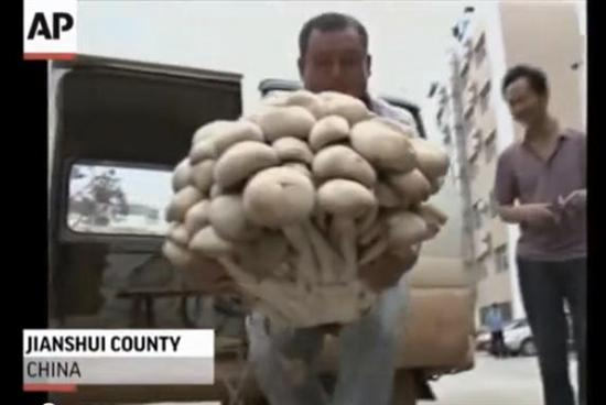 giant mushroom china weighs 33 pounds 5