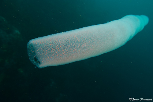 giant pyrosome 3 Rare Giant Underwater Creature: Unicorn of the Seas as seen on CoolWeirdo.com