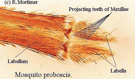 Mosquito Anatomy Mouth Mosquito Anatomy