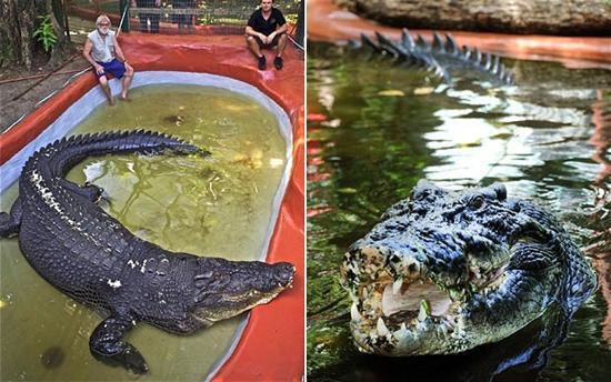 Cassius Australian saltwater crocodile