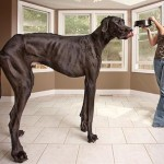 Worlds-Tallest-Dog-2
