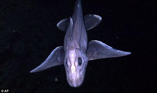 rare long nosed chimaera 2