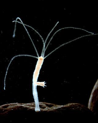 Freshwater polyp 1