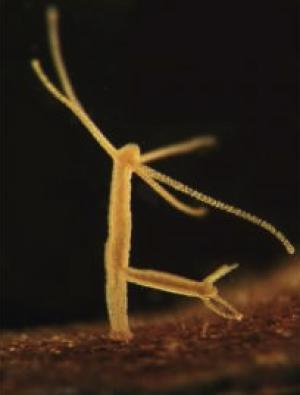 Freshwater polyp 2