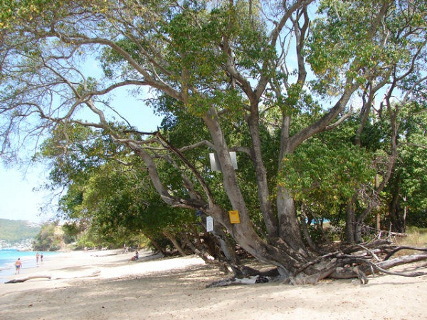manchineel tree3