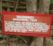 manchineela-tree