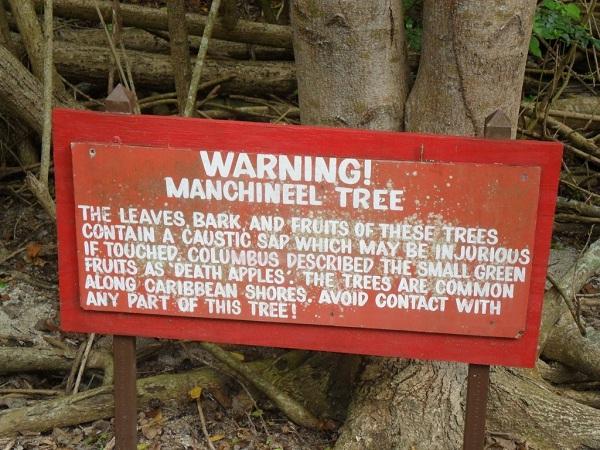 manchineela tree