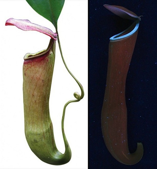 pitcher plants 5