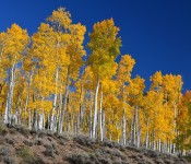 pando trees 175x150