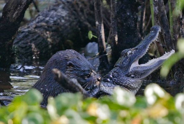 otter-eating-allig