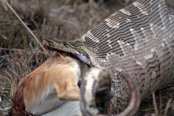 snake-eats-deer