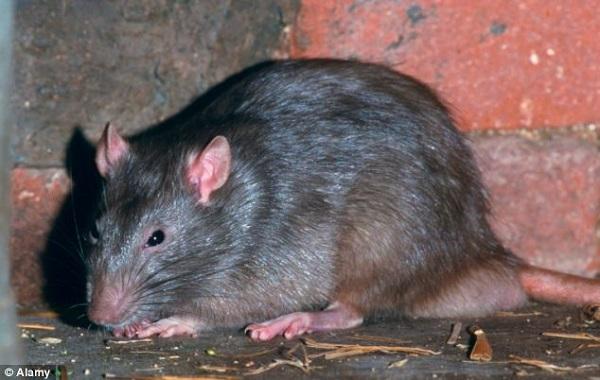giant-rat-grin