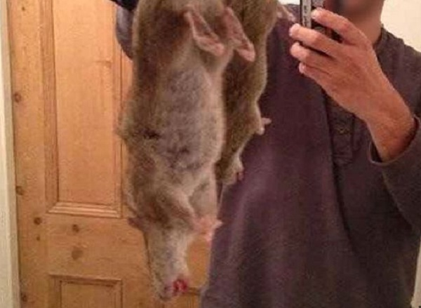 giant-rats-caught