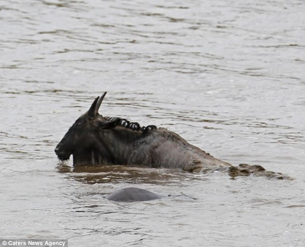 gnu attacked crocodile