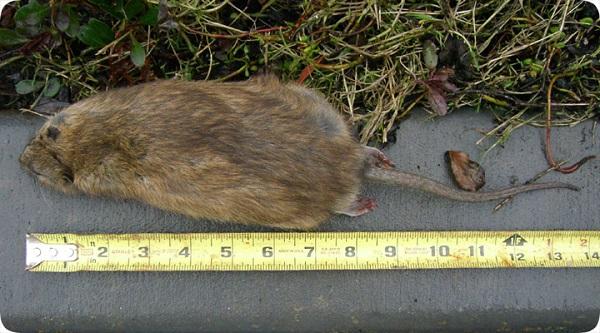 rat big