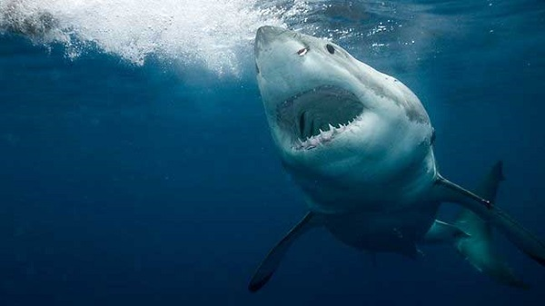 044042 great white shark