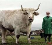 Field Marshall the biggest bull1 175x150
